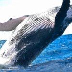 animal 1850235 960 720 2 150x150 - 【国際】欧米人「捕鯨やめろ!!」日本「やだ!絶対取る!!!」 そんなにクジラ欲しいか?