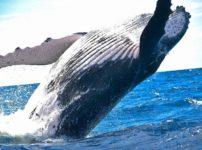 animal 1850235 960 720 2 202x150 - 【国際】欧米人「捕鯨やめろ!!」日本「やだ!絶対取る!!!」 そんなにクジラ欲しいか?