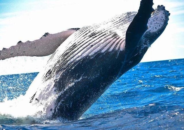 animal 1850235 960 720 2 640x453 - 【国際】欧米人「捕鯨やめろ!!」日本「やだ!絶対取る!!!」 そんなにクジラ欲しいか?