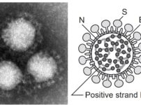 corona fig1 202x150 - 【日本】コロナワクチンの接種無料に…関連法成立、国民には接種の努力義務… ★2 [BFU★]