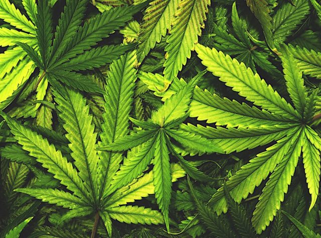 cannabis 2 640x475 - 【大麻】「大麻はオーガニック食品と同じ道を歩む」 ホールフーズCEOが予言 アルコールやタバコ大手が本格参入してくると予測 [ごまカンパチ★]